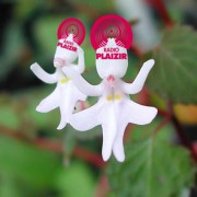Radio Plaizir 24.2 «Flowers» Selecta